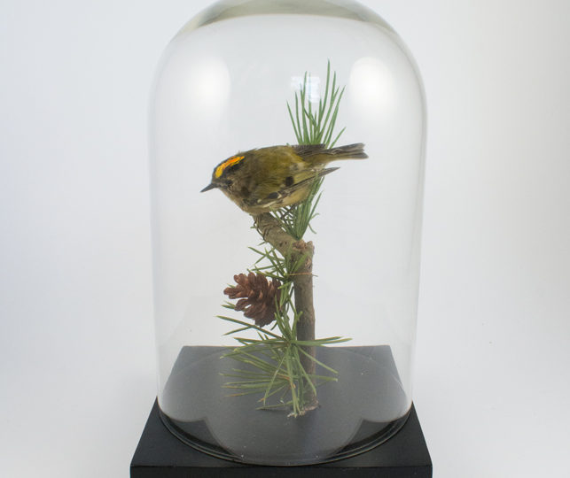 Taxidermy Goldcrest – The smallest bird!