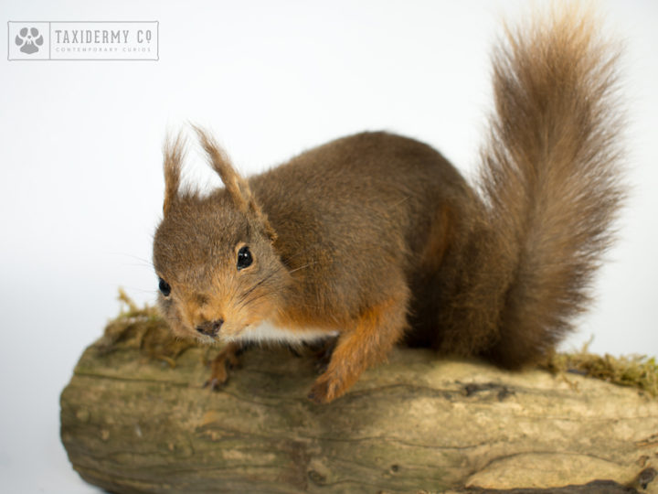 Taxidermy Red Squirrel