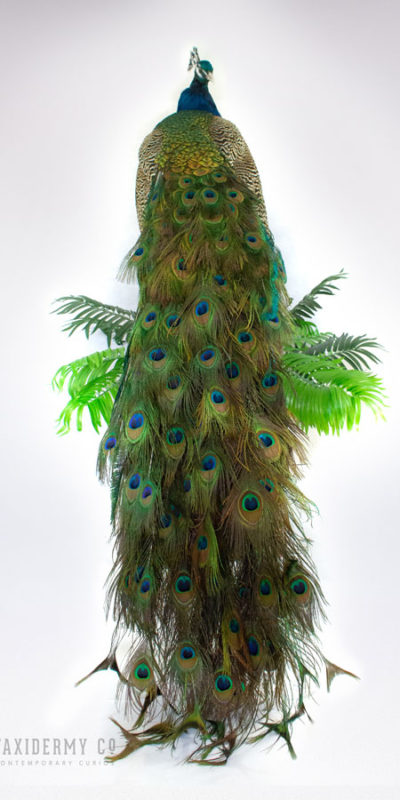 Taxidermy Peacock Indian Peafowl