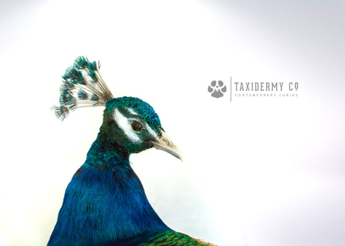 Taxidermy Peafowl