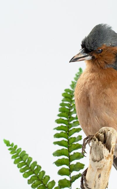Taxidermy Male Chaffinch