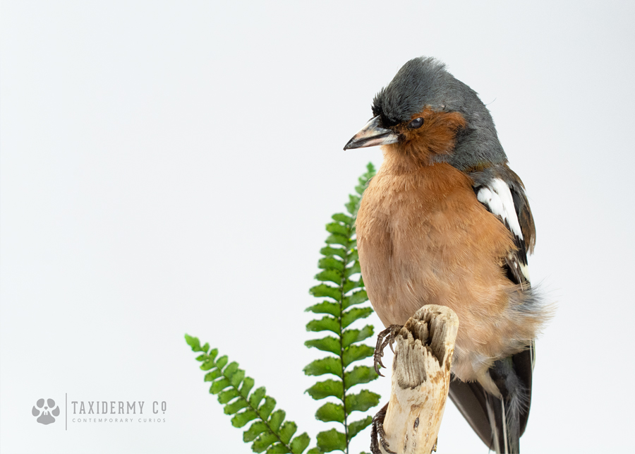 Taxidermy Male Chaffinch