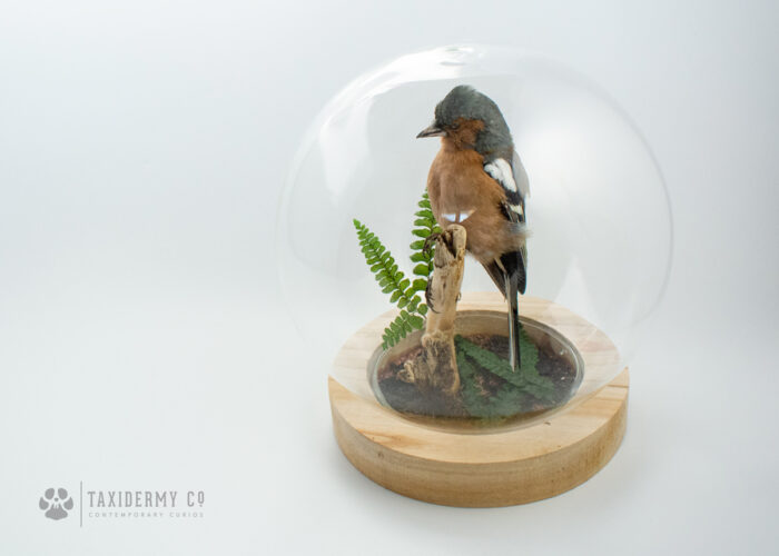 Taxidermy Male Chaffinch Glass Dome