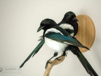 'Two For Joy' Taxidermy Magpies