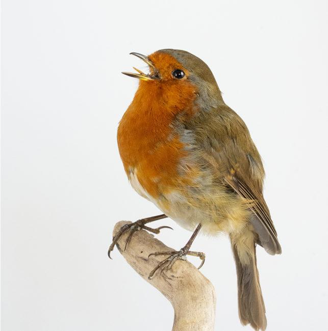 Taxidermy European Robin