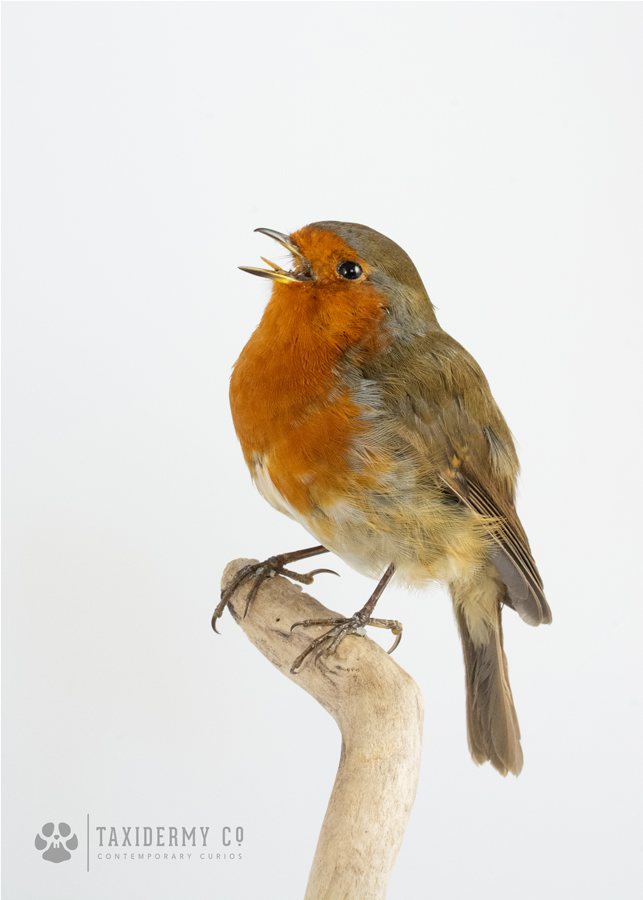Taxidermy European Robin