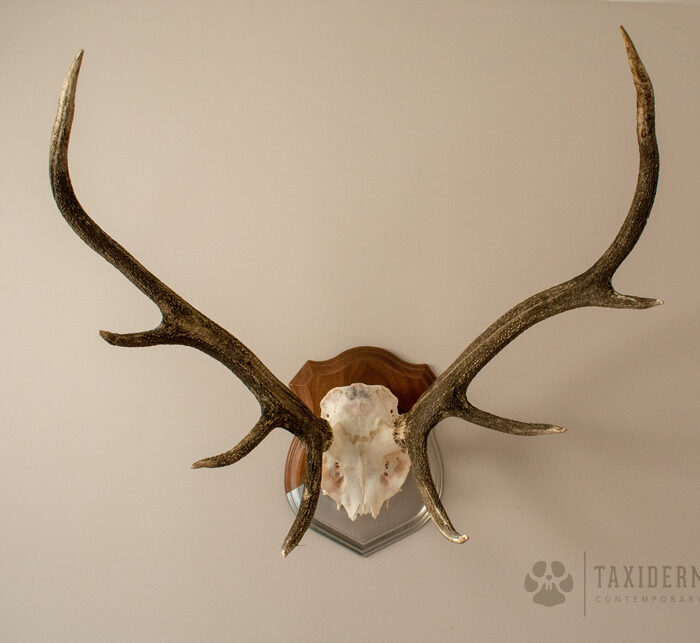 Red Stag Antlers For Sale