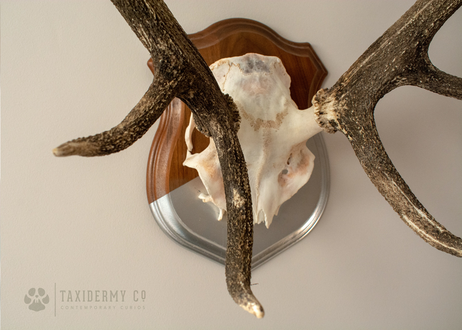 Red Stag Antlers Modern