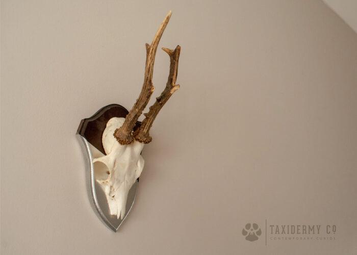 Roe Deer Antlers Wall