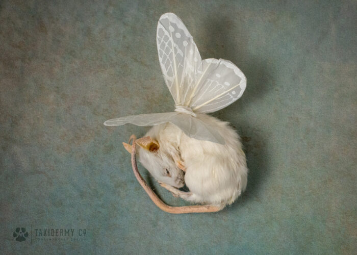 Taxidermy Fairy Mouse With Wings