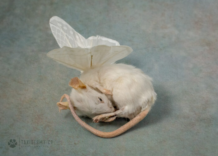 Taxidermy Angel Mouse WIngs