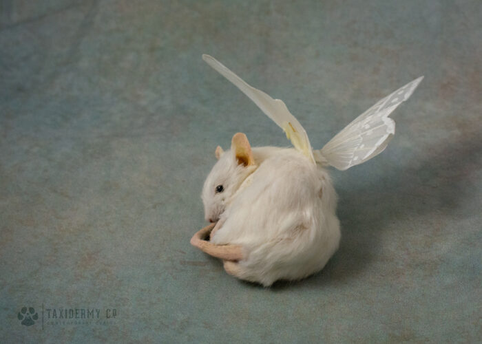 Taxidermy Sleeping Mouse with Wings