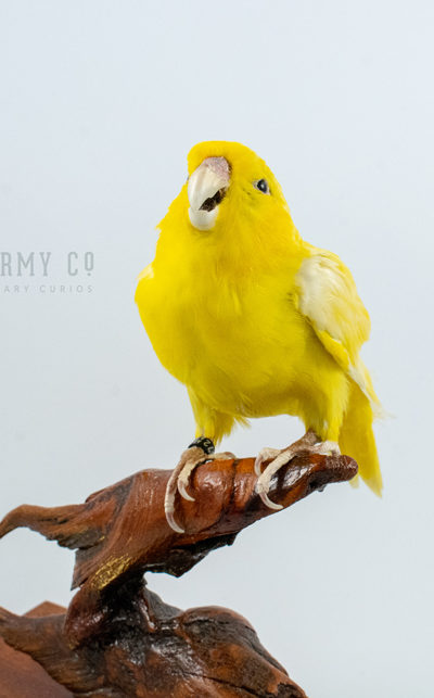 Taxidermy Parrotlet Bird