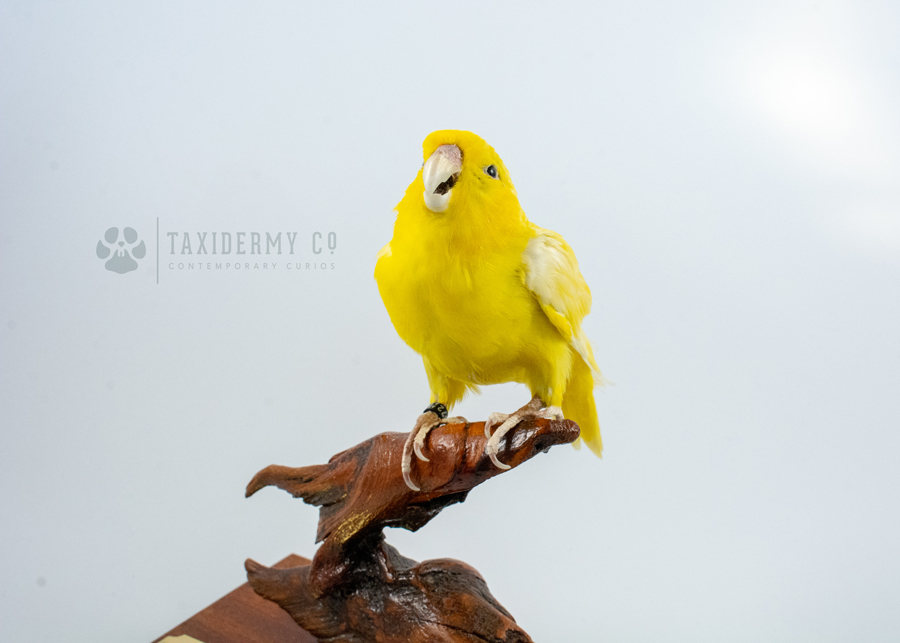 Taxidermy Parrotlet Bird