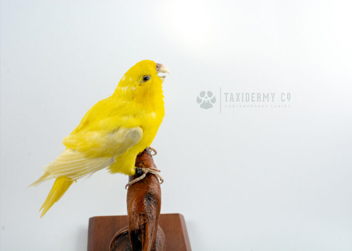 Taxidermy Yellow Parrotlet Bird