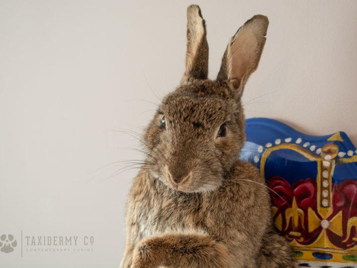 Bespoke Taxidermy Rabbit Project