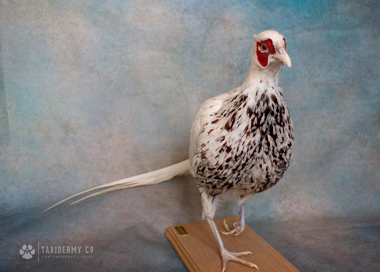 Male White Pheasant Taxidermy