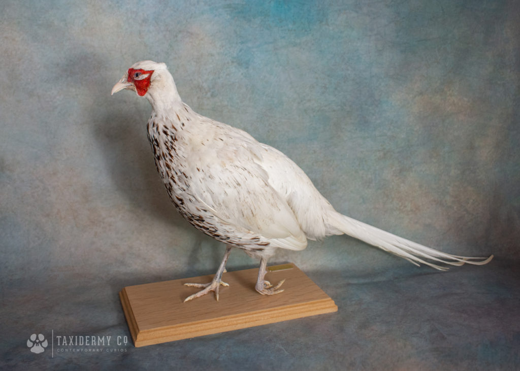 White-Pheasant-Taxidermy