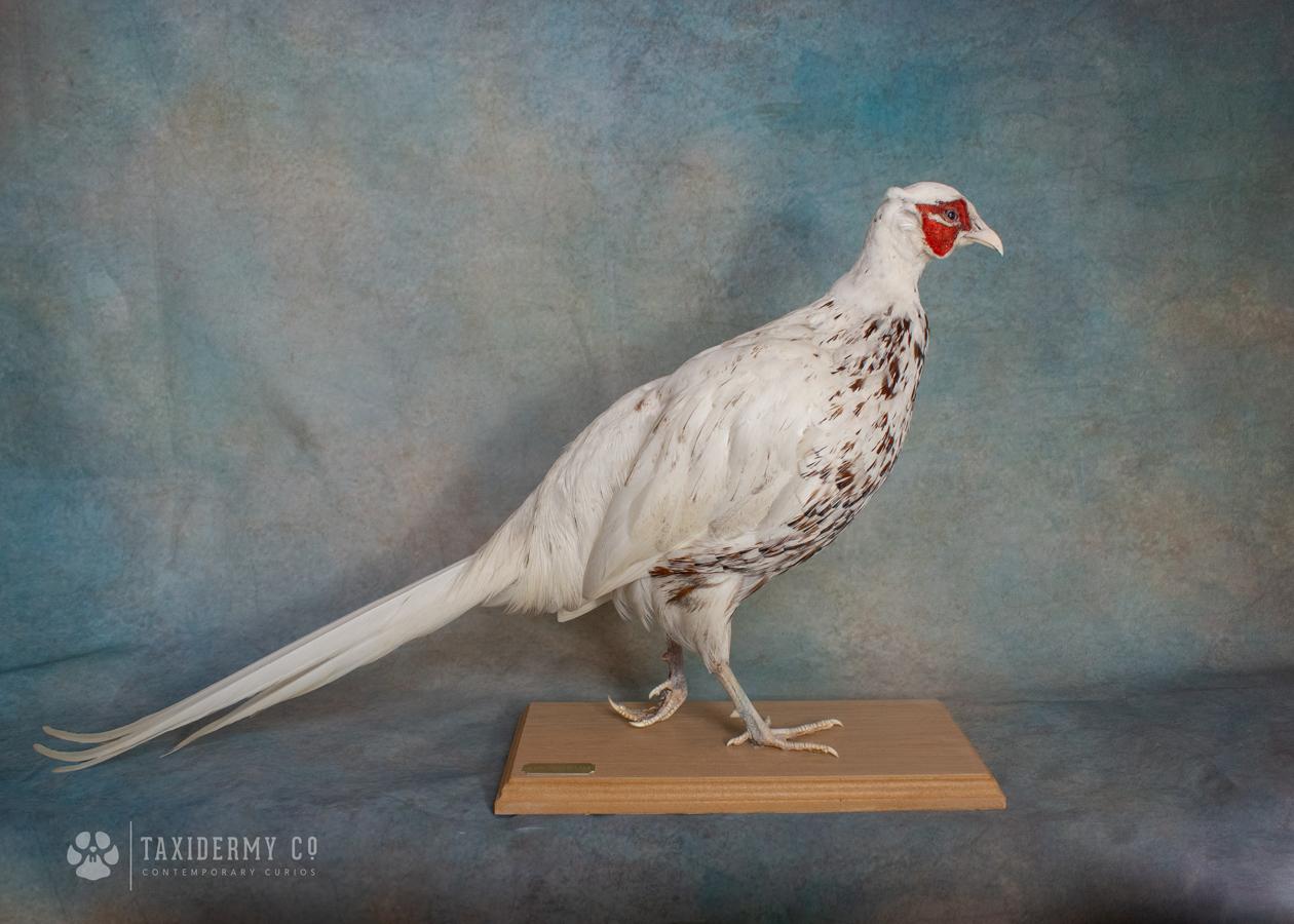 White Pheasant Taxidermy