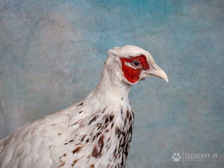 Happy New Year! First taxidermy project of 2019 – White Pheasant