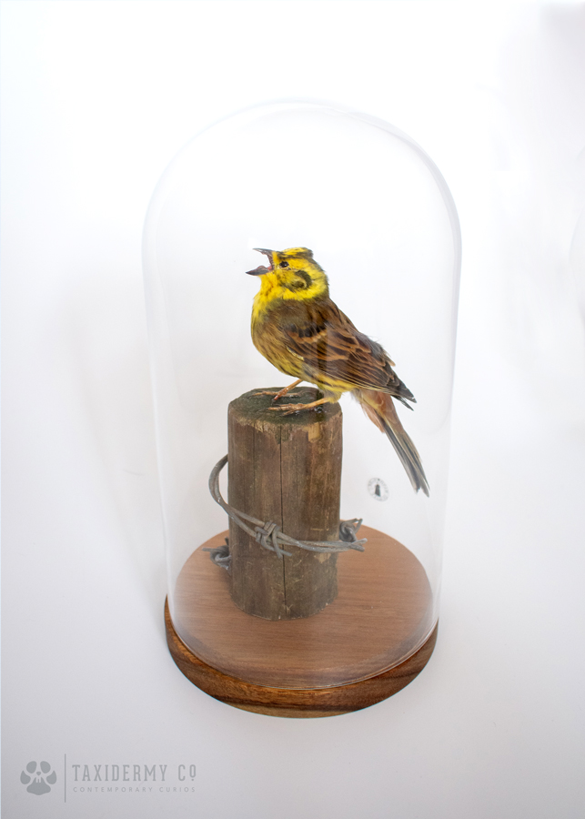 Taxidermy Yellowhammer Bird Suffolk Wildlife