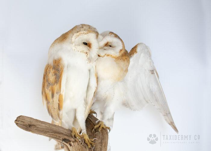 Modern Taxidermy Barn Owls Kissing
