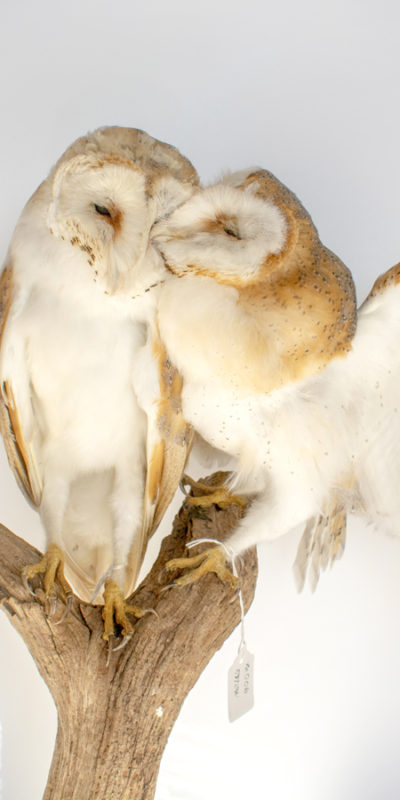 Taxidermy Barn Owls Contemporary