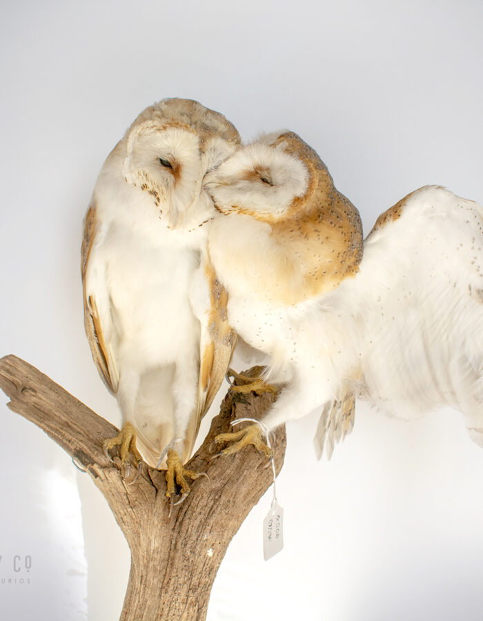 Taxidermy Barn Owls Contemporary
