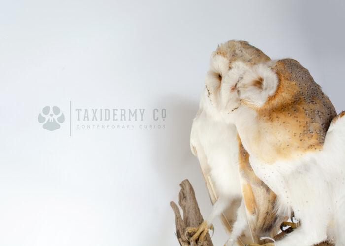 Taxidermy Barn Owls For Sale