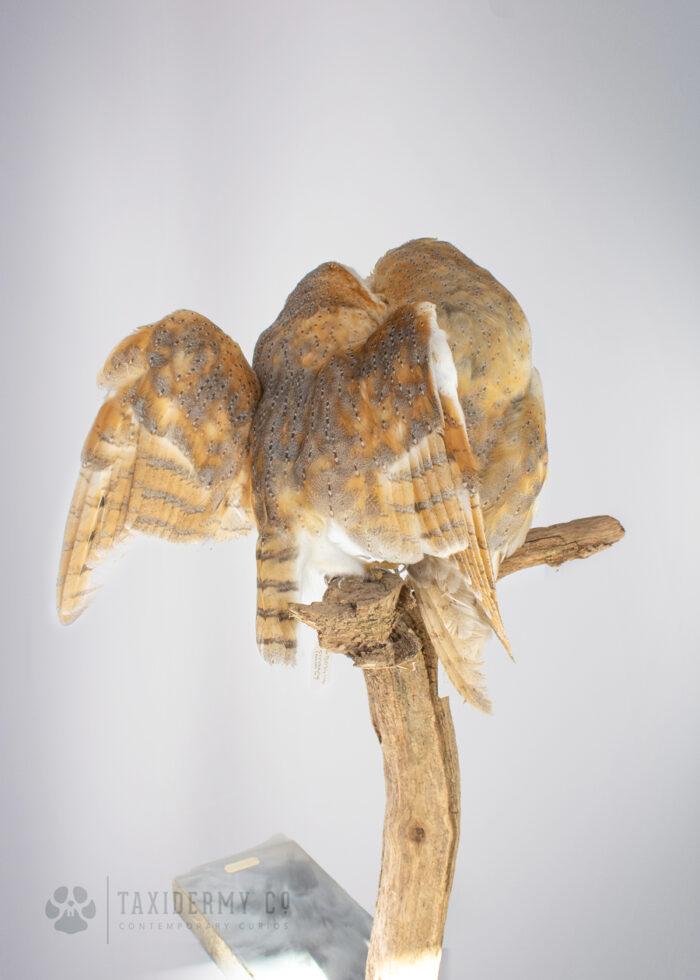 Taxidermy Barn Owl UK