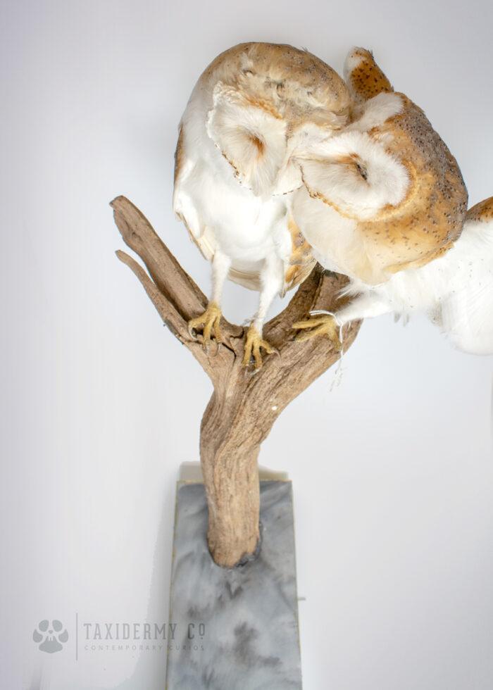 Taxidermy Barn Owls Modern
