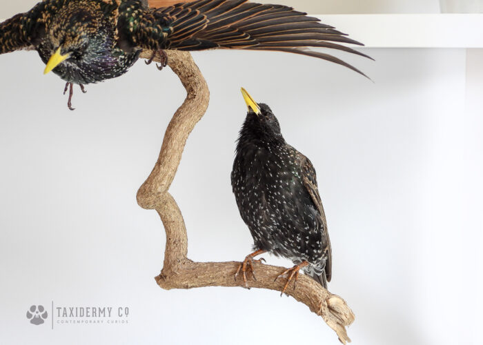 Taxidermy Starlings For Sale