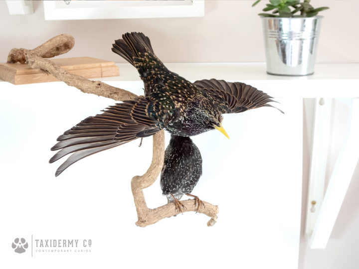 Taxidermy starlings, latest work!