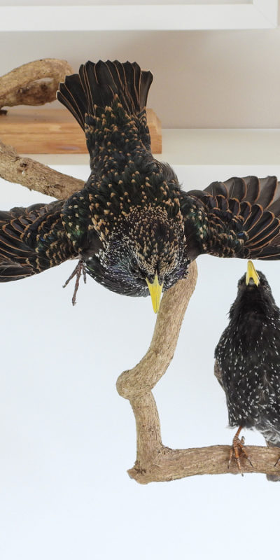 Taxidermy Starling (Sturnus vulgaris)