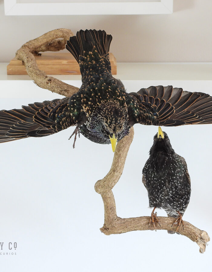 Taxidermy Starling (Sturnus vulgaris)
