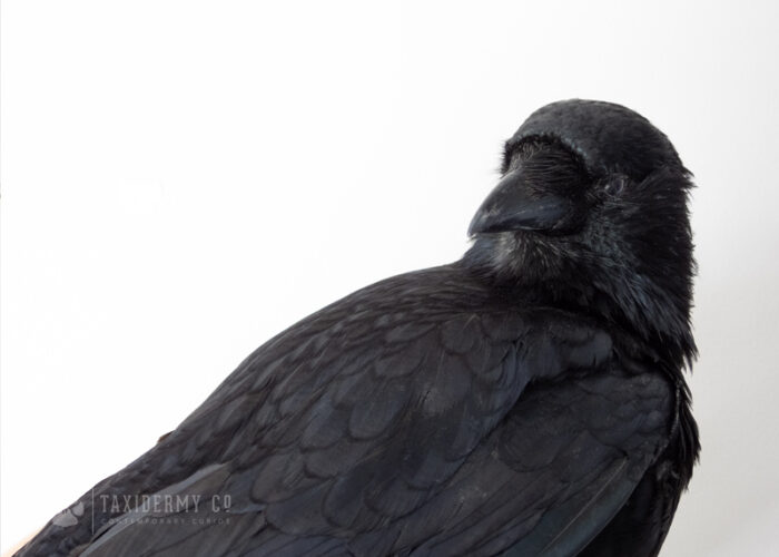 Taxidermy Crow For Sale