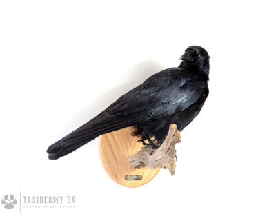 Modern Taxidermy Crow Mount For Sale