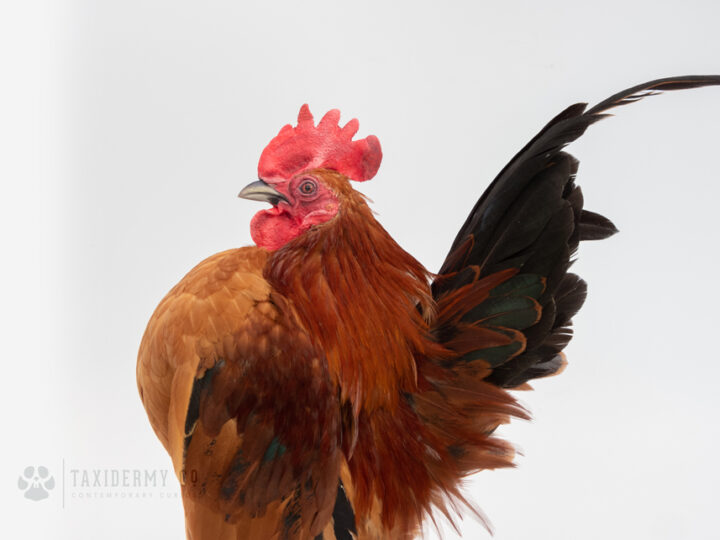 Serama Chicken Taxidermy Commission