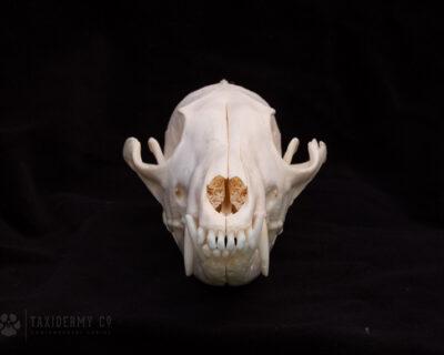 Image of Red Fox Skull