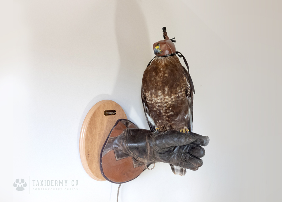 Contemporary Wall Mount Buzzard Bird (Buteo buteo)