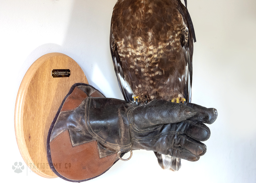 Taxidermy Buzzard on Falconry Glove (Buteo buteo) for sale