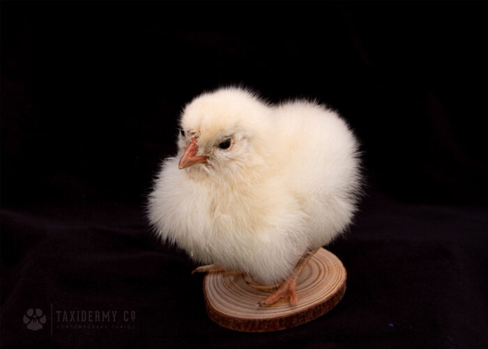 Taxidermy Chick For Sale