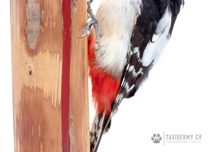 Great Spotted Woodpecker Taxidermy on Handmade Wood and Resin LED lamp