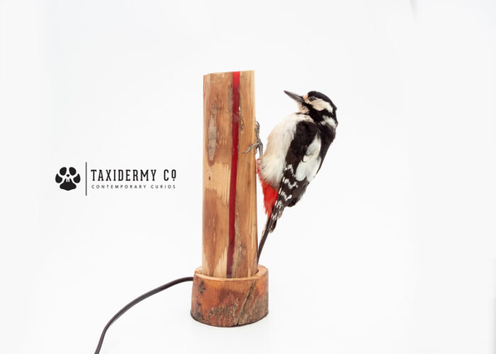 Taxidermy Great Spotted Woodpecker Bird For Sale