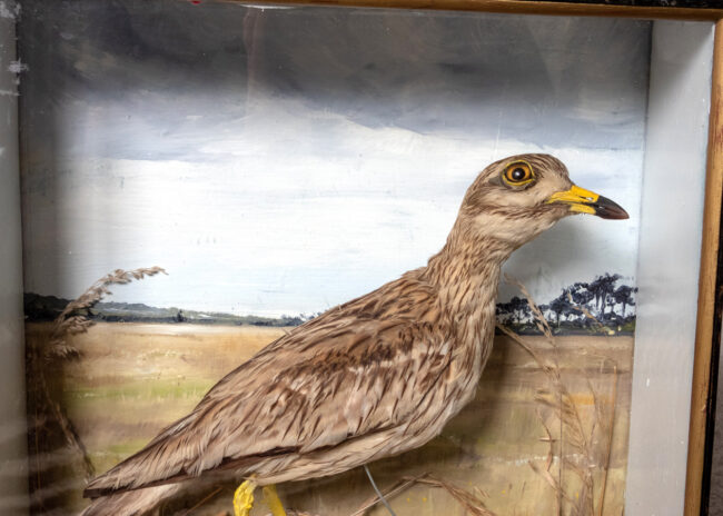 Taxidermy Stone Curlew