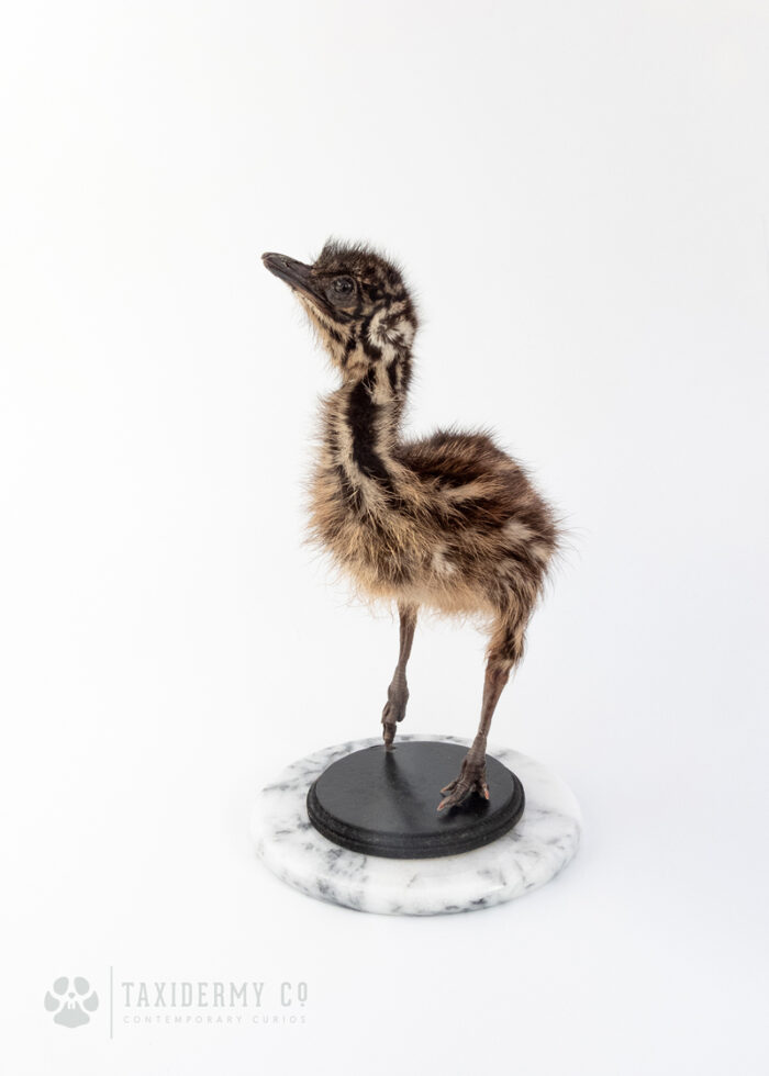 Taxidermy Emu Chick For Sale