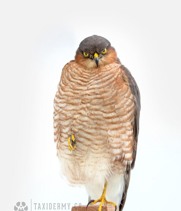 Taxidermy Sparrowhawk For Sale