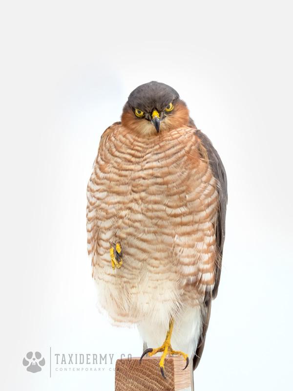 Taxidermy Sparrowhawk For Sale