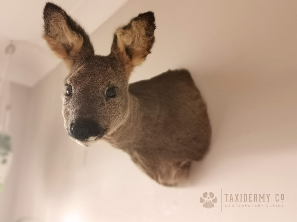 Taxidermy Roe Doe Shoulder Mount