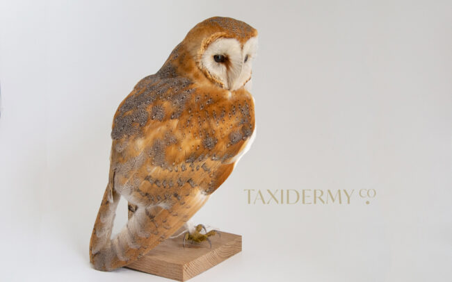 Taxidermy Barn Owl LOG B035 CITES:577296/05